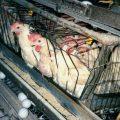 مضرات تخم مرغ